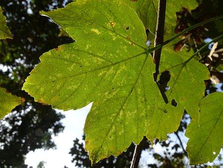 Maple, Leaf, Tree, Nature, Light, Fall, Foliage