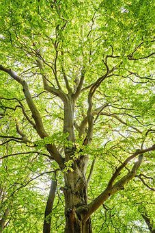 Forest, Beech, Island Vilm, Old, Light, Leaves