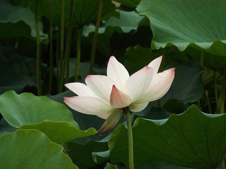 Lotus, Dragon Boat Festival, Noble