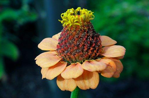 Flower, Zinnia, Nature, Summer, The Petals, Macro