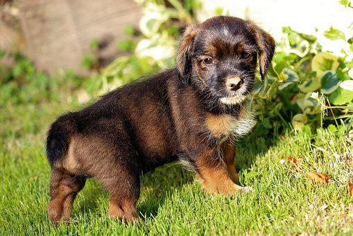 Little Dog, Puppy, Nice, Cute, Sweet, Animal, Domestic