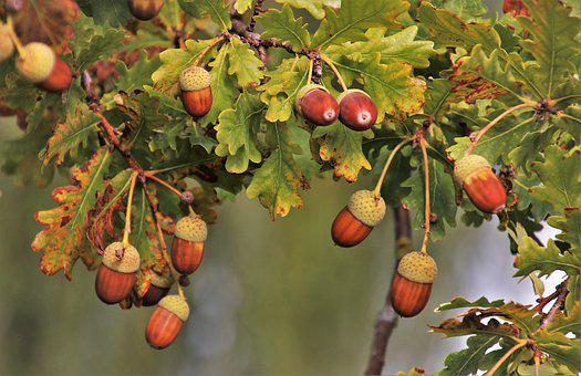 Branch, Acorns, In The Fall, Brown, Acorn, Oak, Tree