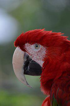 Bird, Macaw, Nature, Parrot, Red, Beak