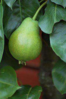 Green, Pear, Closeup, Fruit, Autumn
