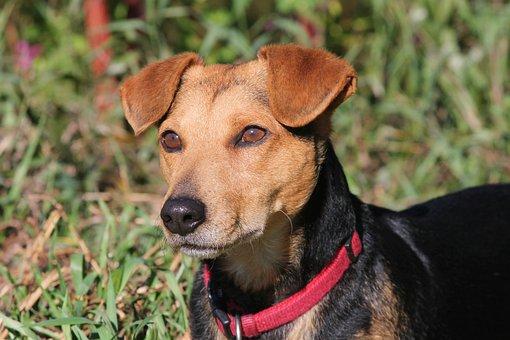 Dog, Hybrid, Male, Portrait, Attention, Vigilant, Pet