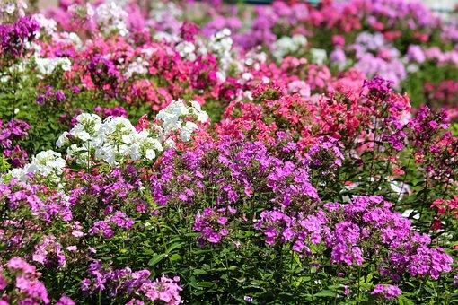 Phlox, Plants, Pink, White, Red, Flower Bed, Garden