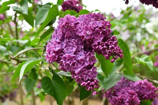 Without, Nature, Bush, Plant, Blooms, Flower, Violet