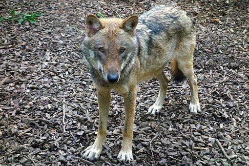 Wolf, Animal, Predator, Wild, Nature, Mammal, Portrait