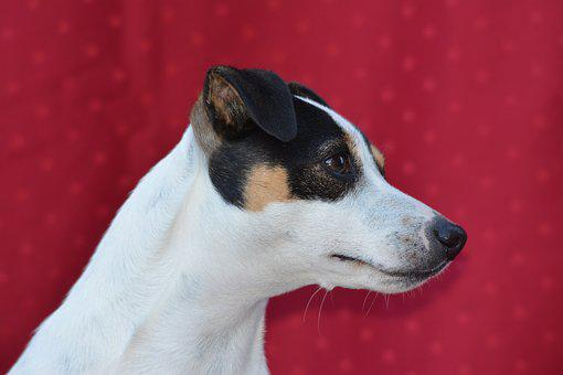 Dog, Jack Russel, Animals, Cute, Terrier, Quadruped