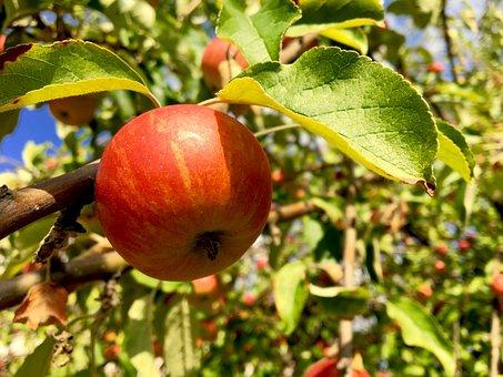 Apple, Apple Tree, Fruit, Pome Fruit, Autumn, Red