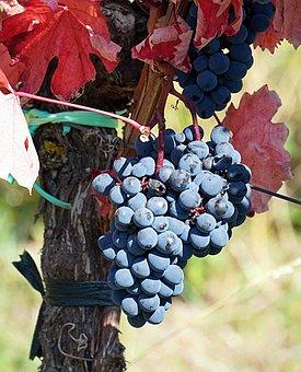 Grapes, Harvest, Vine, Autumn, Wine, Ripe, Grapevine