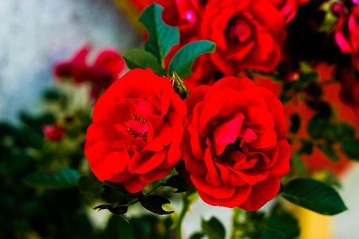 Rose, Nature, Plant, Romance, Petals, Red, Garden