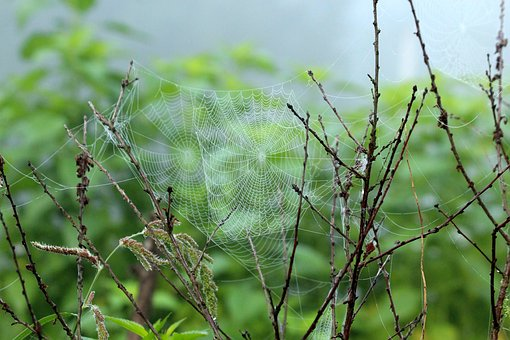 Spider Web, Fog, Morning, Rosa, Dried-up, The Bushes