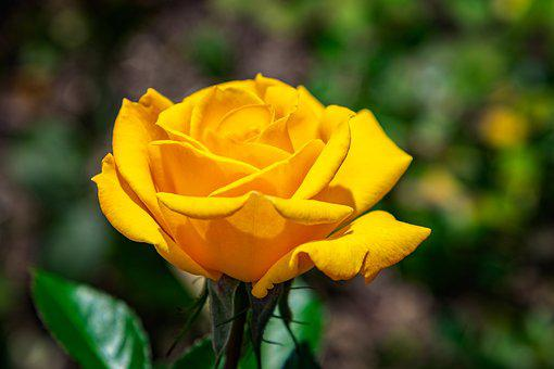Rose, Flower, Yellow, Blossom, Bloom, Nature, Plant