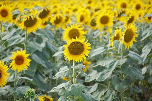 Sunflowers, Słoneczki, Field, Agriculture, Plant