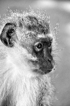 Monkey, Mammal, South Africa, Nature, Animals, Wild