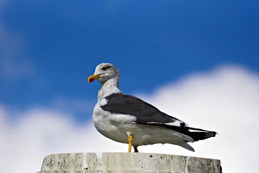 Seagull, Bird, Seabird, Animal, Wildlife, Standing