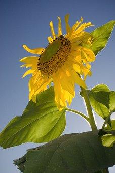 Sunflower, Sky, Nature, Yellow, Flower, Summer, Bloom