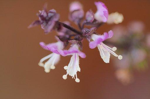 Thai Basil, Flowers, Spice, Garden, Plant, Summer