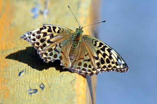 The Metalmark, Butterfly, Lepidoptera, Bespozvonochnoe