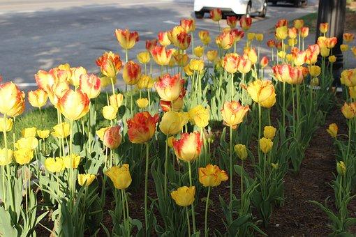Tulip, Flower, Gard, Spring, Bloom, Nature, Garden