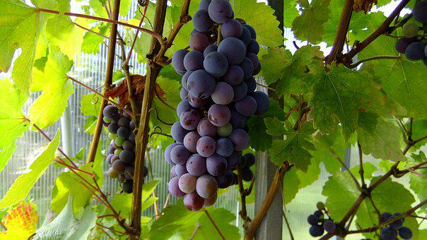 Nature, Grapes, Loza, Fresh, Sweet, Vitamins, Summer
