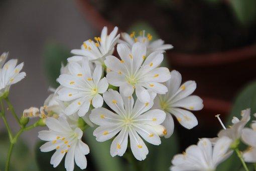 Cotyledon, Cotyledon White, White Flowers, Perennial