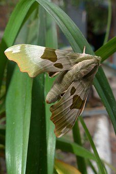 Moth, Butterfly, Hyles, Insect, Wing