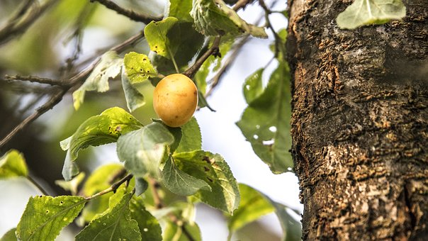 Plum, Fruit, Tree, Nature, Yellow, Mature, Healthy