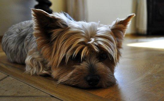 Dog, York, Animal, Nice, Yorkshire, Doggy, Charming