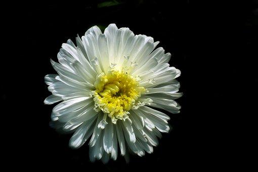 Flower, Zinnia, White, Nature, The Petals, Macro