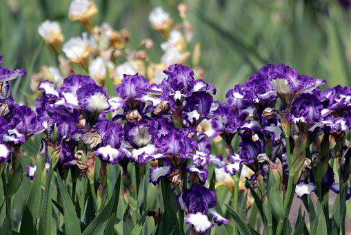Irises, Flower Bed, Flowers, A Lot, Beautiful, Nature