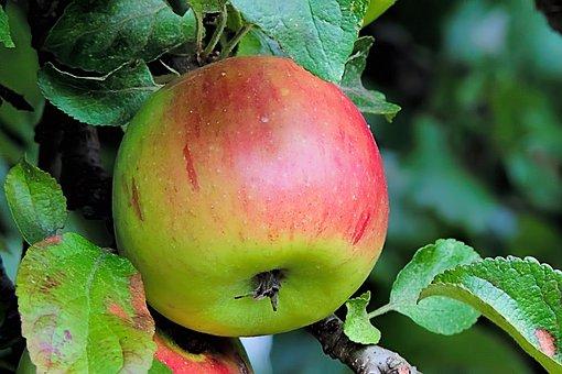 Apple, Browned, Fruits, Ripe, Apple Tree, Fruit
