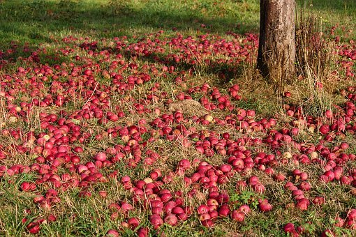 Apple, Orchard, Fruit Tree, Apple Tree, Food, Fruit