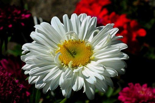 Aster, Flower, White, Garden, Summer, Nature, Macro