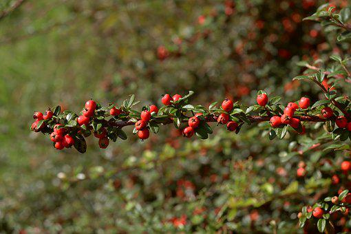 Firethorn, Autumn, Bush, Fruits, Berries, Nature