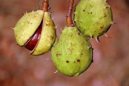 Chestnut, Fruits, Autumn, Autumn Fruit, Chestnut Fruit