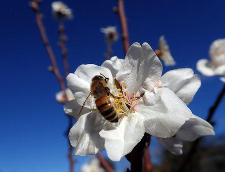 Bee, Pollen, Blossom, Spring, Nature