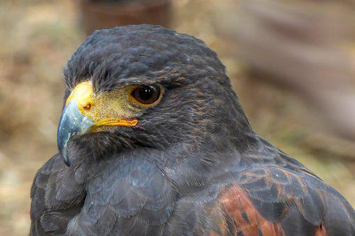 Falcon, Big Hawk, Bird Of Prey, Raptor, Bird, Majestic
