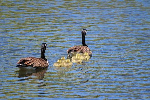 Goose, Nature, Animals, Plumage, Bird, Geese, Birds