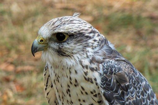 Falcon, Bird Of Prey, Raptor, Bird, Majestic