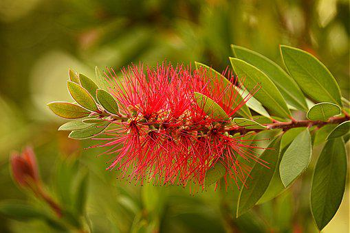 Bottlebrush Flower, Shrub, Plant, Callistemon, Bloom