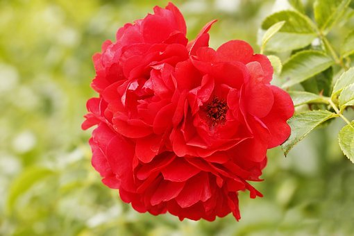 Rose, Red, Red Rose, Flower, Blossom, Bloom, Plant