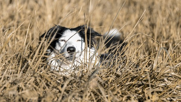 Dog, Bordercollie, Pet, Animals, Attractive, Dogs