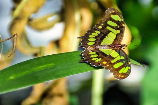 Butterfly, Green, Insect, Beautiful