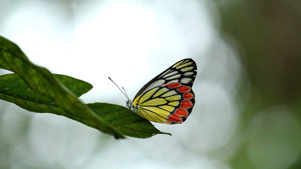 Butterfly, Jezebel, Colorful, Nature, Summer, Spring
