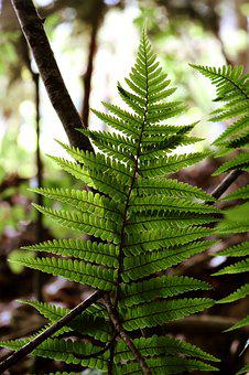 Fern, Forest, Nature, Plant, Green, Close Up, Lighting