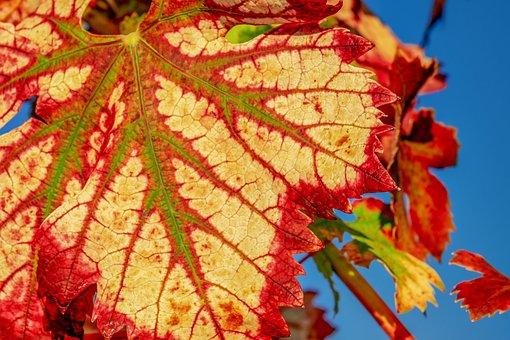 Wine Leaf, Fall Color, Leaf, Color, Structure