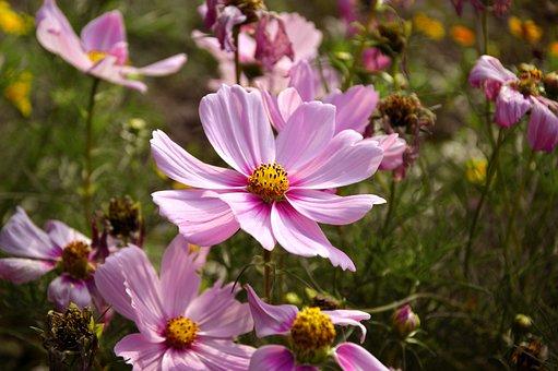 Cosmee, Cosmea, Cosmos, Flower, Flower Meadow, Flowers