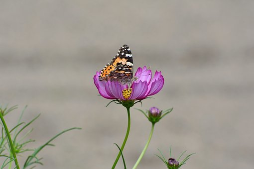 Natural, Landscape, Flowers, Cosmos, Insect, Butterfly